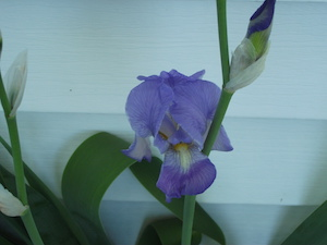 Purple Iris from my garden